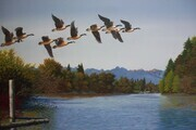 Lyle Longstaff, Canada Geese over Bedford Channel
