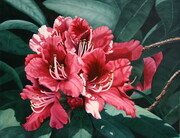 Lyle Longstaff,  Red Rhododendron